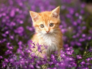 flowers-cat-cats-flower-flowers-garden-kitten-kitten-in-purple